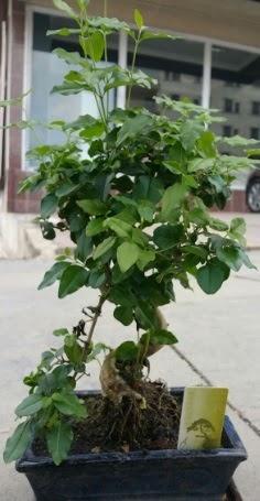 Bonsai japon ağacı saksı bitkisi  İzmir Konak online çiçekçi , çiçek siparişi