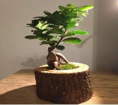 Doğal kütükte Bonsai japon ağacı satışı  İzmir Konak kaliteli taze ve ucuz çiçekler
