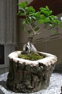 Ahşap kütük içerisinde ginseng bonsai  İzmir Konak yurtiçi ve yurtdışı çiçek siparişi