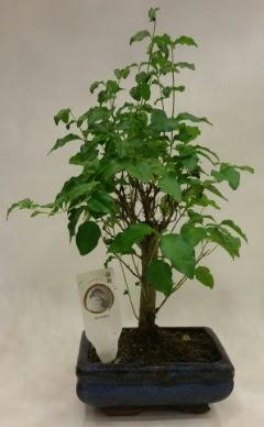 Minyatür bonsai japon ağacı satışı  İzmir Konak uluslararası çiçek gönderme