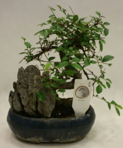 İthal 1.ci kalite bonsai japon ağacı  İzmir Konak 14 şubat sevgililer günü çiçek
