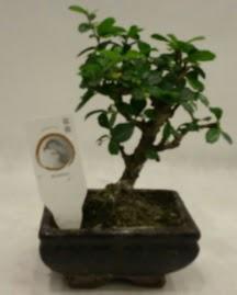 Küçük minyatür bonsai japon ağacı  İzmir Konak cicekciler , cicek siparisi