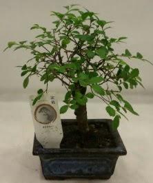 Minyatür ithal japon ağacı bonsai bitkisi  İzmir Konak 14 şubat sevgililer günü çiçek