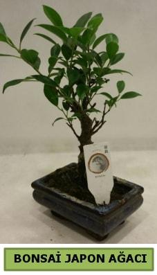 Bonsai japon ağacı saksı bitkisi  İzmir Konak ucuz çiçek gönder