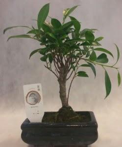 Bonsai japon ağacı bitkisi satışı  İzmir Konak online çiçek gönderme sipariş