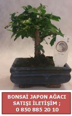 Japon ağacı minyaür bonsai satışı  İzmir Konak 14 şubat sevgililer günü çiçek
