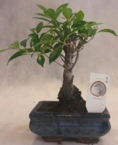 Bonsai ağacı japon ağaç bitkisi  İzmir Konak cicek , cicekci
