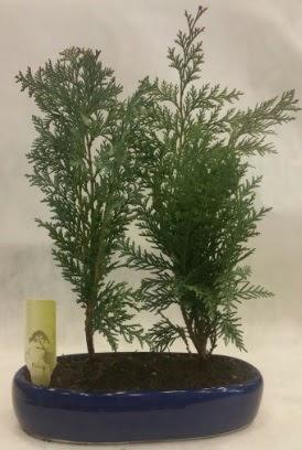 SINIRLI SAYIDA Selvi Ağacı bonsai ikili  İzmir Konak uluslararası çiçek gönderme