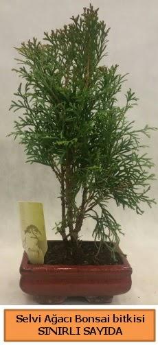 Selvi ağacı bonsai japon ağacı bitkisi  İzmir Konak 14 şubat sevgililer günü çiçek