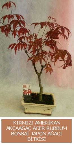 Amerikan akçaağaç Acer Rubrum bonsai  İzmir Konak çiçek yolla