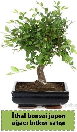 İthal bonsai saksı çiçeği Japon ağacı satışı  İzmir Konak çiçek siparişi vermek