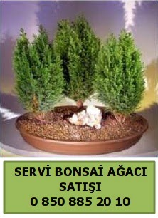 BONSAİ 3 LÜ SERVİ BONSAİ AĞACI  İzmir Konak uluslararası çiçek gönderme