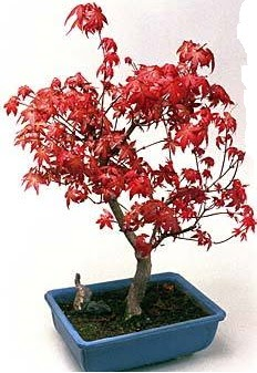 Amerikan akçaağaç bonsai bitkisi  İzmir Konak cicek , cicekci