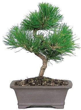 Çam ağacı bonsai japon ağacı bitkisi  İzmir Konak cicekciler , cicek siparisi