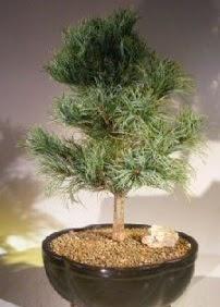 Çam ağacı bonsai bitkisi satışı  İzmir Konak hediye sevgilime hediye çiçek