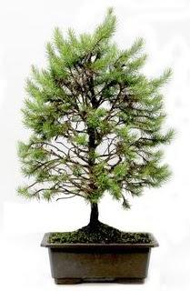 *** STOKTA YOK - Çam ağacı bonsai bitkisi satışı  İzmir Konak çiçek gönderme sitemiz güvenlidir