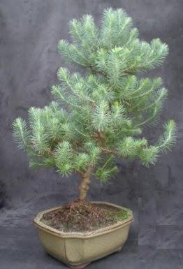 Bonsai çam ağacı japon ağacı bitkisi  İzmir Konak online çiçek gönderme sipariş