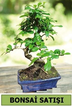 Çam bonsai japon ağacı satışı  İzmir Konak 14 şubat sevgililer günü çiçek