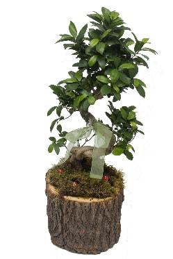 Doğal kütükte bonsai saksı bitkisi  İzmir Konak çiçek siparişi vermek