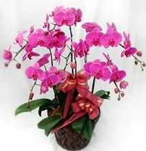 Sepet içerisinde 5 dallı lila orkide  İzmir Konak hediye sevgilime hediye çiçek