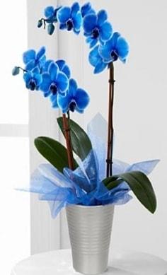 Seramik vazo içerisinde 2 dallı mavi orkide  İzmir Konak anneler günü çiçek yolla