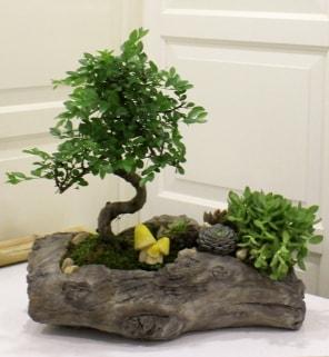 Ağaç kütük içerisinde bonsai ve sukulent  İzmir Konak online çiçek gönderme sipariş