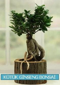 Kütük ağaç içerisinde ginseng bonsai  İzmir Konak online çiçek gönderme sipariş
