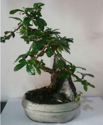 S şeklinde ithal bonsai ağacı  İzmir Konak cicek , cicekci