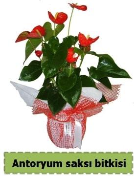 Antoryum saksı bitkisi satışı  İzmir Konak anneler günü çiçek yolla