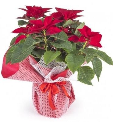 Atatürk çiçeği saksı bitkisi  İzmir Konak online çiçek gönderme sipariş
