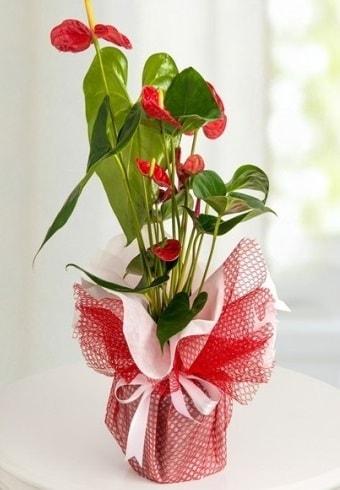 Anthurium Saksı Çiçeği  İzmir Konak çiçek online çiçek siparişi