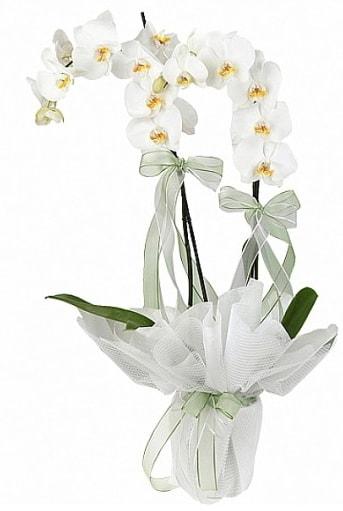 Çift Dallı Beyaz Orkide  İzmir Konak çiçekçi telefonları