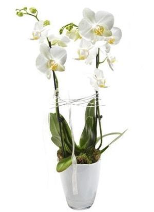 2 dallı beyaz seramik beyaz orkide saksısı  İzmir Konak online çiçek gönderme sipariş