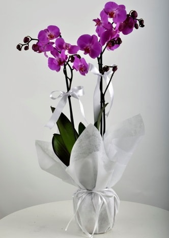 Çift dallı saksıda mor orkide çiçeği  İzmir Konak online çiçekçi , çiçek siparişi