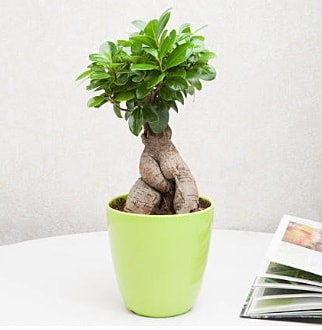 Ficus Ginseng Bonsai  İzmir Konak çiçek gönderme