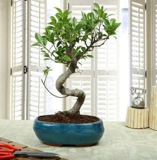 Amazing Bonsai Ficus S İthal  İzmir Konak yurtiçi ve yurtdışı çiçek siparişi
