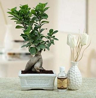 Ginseng ficus bonsai  İzmir Konak güvenli kaliteli hızlı çiçek