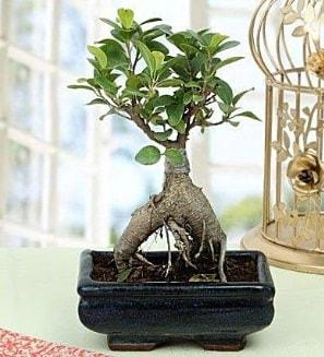 Appealing Ficus Ginseng Bonsai  İzmir Konak çiçekçi telefonları