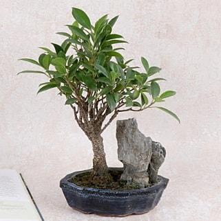 Japon ağacı Evergreen Ficus Bonsai  İzmir Konak online çiçek gönderme sipariş