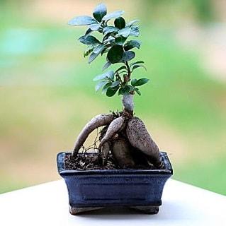 Marvellous Ficus Microcarpa ginseng bonsai  İzmir Konak online çiçekçi , çiçek siparişi
