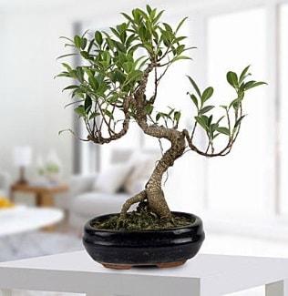 Gorgeous Ficus S shaped japon bonsai  İzmir Konak internetten çiçek satışı