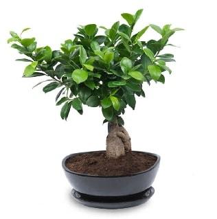 Ginseng bonsai ağacı özel ithal ürün  İzmir Konak kaliteli taze ve ucuz çiçekler