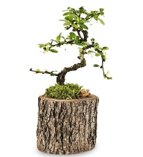 Doğal kütükte S bonsai ağacı  İzmir Konak 14 şubat sevgililer günü çiçek