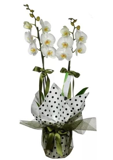 Çift Dallı Beyaz Orkide  İzmir Konak çiçek gönderme