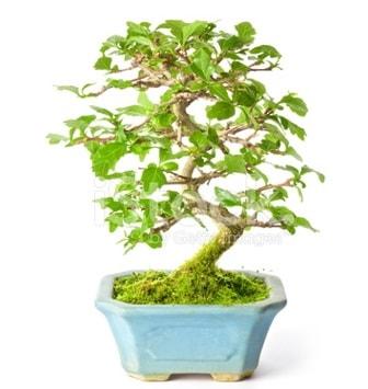 S zerkova bonsai kısa süreliğine  İzmir Konak çiçek siparişi vermek