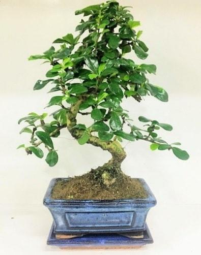 S Bonsai japon ağacı bitkisi  İzmir Konak çiçek yolla