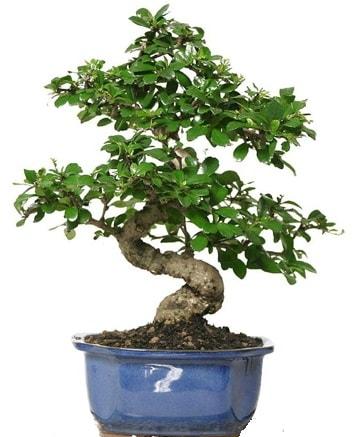 21 ile 25 cm arası özel S bonsai japon ağacı  İzmir Konak uluslararası çiçek gönderme