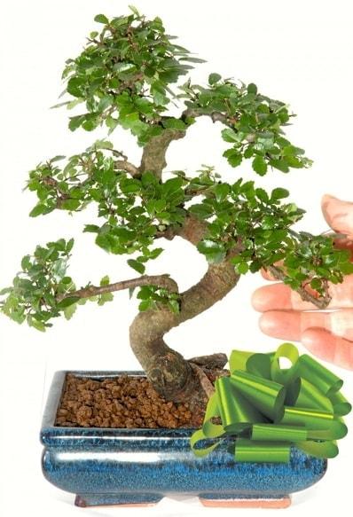 Yaklaşık 25 cm boyutlarında S bonsai  İzmir Konak çiçek mağazası , çiçekçi adresleri