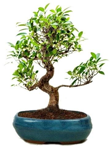 25 cm ile 30 cm aralığında Ficus S bonsai  İzmir Konak online çiçek gönderme sipariş