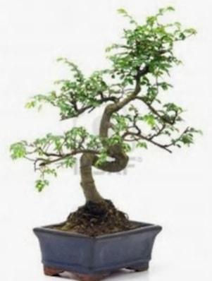 S gövde bonsai minyatür ağaç japon ağacı  İzmir Konak 14 şubat sevgililer günü çiçek